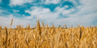 wheat is a common source of food allergies